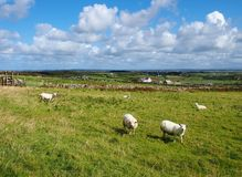 Sheep in Wales. Nosy sheep on the Welsh Isle of Anglesey, United Kingdom stock photos