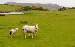 Sheep in Wales Stock Photo