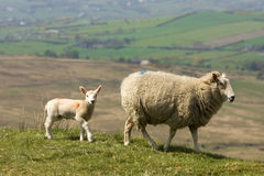 Sheep walk. Mother and lamb walking in open countryside Royalty Free Stock Image