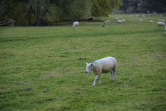 Sheep walk in the green field. In rainny day Royalty Free Stock Images