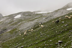 Sheep walk through mountain valley near Germany highest mountain Zugspitze Bavaria Alps. Sheep walk through mountain valley Stock Photography