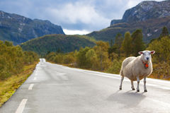 Sheep walking along road Stock Photo