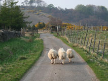 Sheep walking along a road Royalty Free Stock Photos