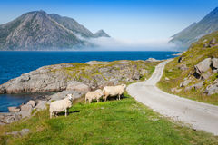 Sheep walking along road. Norway landscape Royalty Free Stock Photography