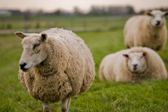Sheep walking away Stock Image