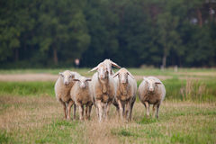 Sheep Stock Images