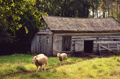 Sheep Walking Barn royalty free stock image