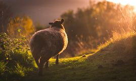 Sheep walking into bright sunlight on a summers evening - Isolated shot stock photography
