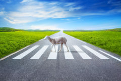 Sheep walking on crosswalk stock photos