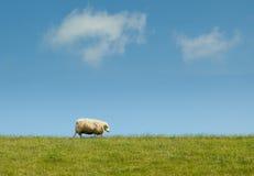 Sheep walking on a dike Stock Photo