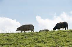 Sheep walking on the dike Stock Photo