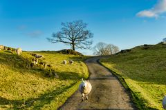A sheep walking down a country lane Stock Photo