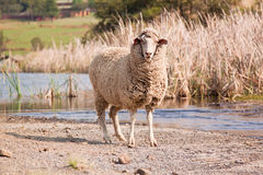 Sheep walking on farm Stock Image