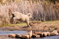 Sheep walking on farm Stock Photo