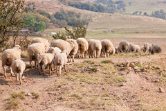 Sheep walking on farm Stock Images