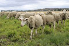 Sheep walking in field Royalty Free Stock Photos