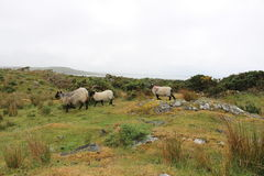 Sheep in Connemara, Ireland. Sheep walking in a field on a hazy day stock photography