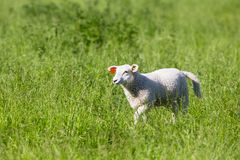 Sheep walking in the Grass Royalty Free Stock Image