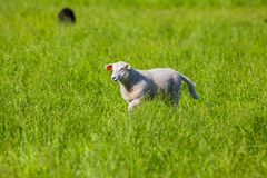 Sheep walking in the Grass Stock Photos