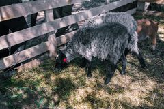 Sheep are walking on the grass in the forest. Aviary with pets. Two gray sheep with black muzzles. Rest in the village. stock photo