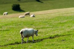 Sheep Walking On Grassy Field stock images