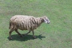 Sheep walking Royalty Free Stock Photos
