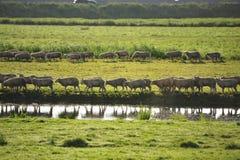 Sheep walking in line Stock Photo