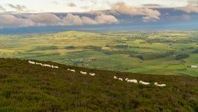Sheep walking in line. Tre`r Ceiri, near Trefor, Gwynedd, Wales, UK Stock Images