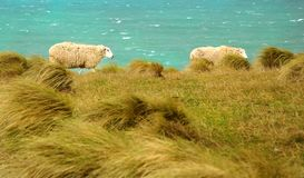 Sheep walking in the meadow Royalty Free Stock Images