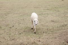 A sheep walking in the meadow. stock image