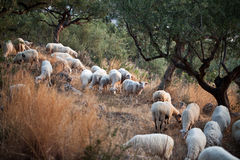 Sheep walking in mountain in Kalamata. In Greece Stock Images