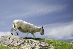 Sheep walking on mountain in scotland Royalty Free Stock Photos