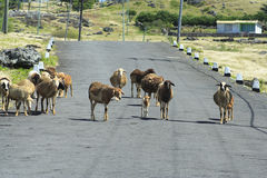 Sheep walking on the road, Rodrigues Island. Image of a herd of sheep walking leisurely on the road, Rodrigues Island, Mauritius royalty free stock photo