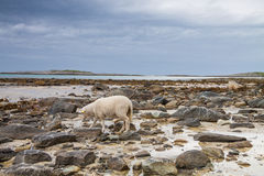 Sheep walking between the rocks during a lowtide in Northern Nor Royalty Free Stock Photo