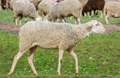 Sheep walking Stock Photos