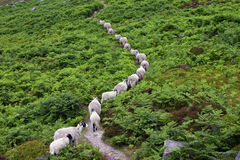 Sheep Walking Single File Stock Photo