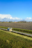 Sheep walks along a fence next to a country road Royalty Free Stock Photography