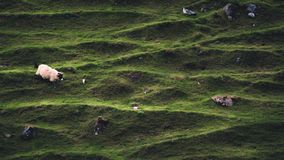 A sheep walks down one of the hillside in Fairy Glen, Isle of Sk. A sheep walks down one of the hille in Fairy Glen, Isle of Skye, Scotland, with distinctive Royalty Free Stock Photos