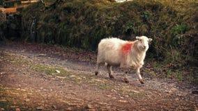 Sheep Walks Past On Farm Road stock video footage