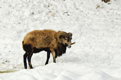 Sheep walks in snow. Royalty Free Stock Photography