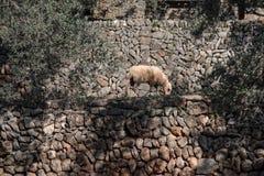Sheep on the wall Stock Image
