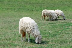 Sheep was eating Stock Photography