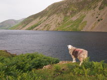 Sheep at Wastwater, Lake District Stock Photo