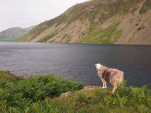Sheep at Wastwater, Lake District Stock Photo