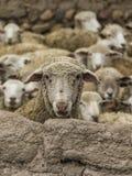 Sheep watching above adobe wall Stock Image