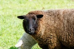 Sheep watching the photographer royalty free stock photo