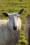 Sheep watching you Stock Photo