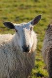 Sheep watching you. A sheep watching whats happening Stock Photo