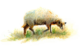 A sheep Stock Image