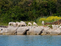 Sheep at the waterfront of the bay of Olib Stock Image
